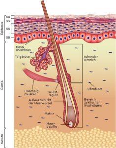 Die Anatomie der Haut - das Haar